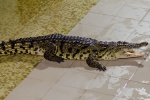 2012_01_28_-_Ekaterinburg_-_Crocodile_farm_04.JPG